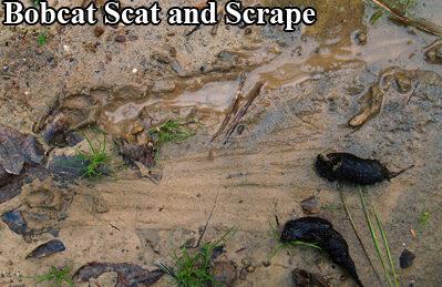 Bobcat droppings