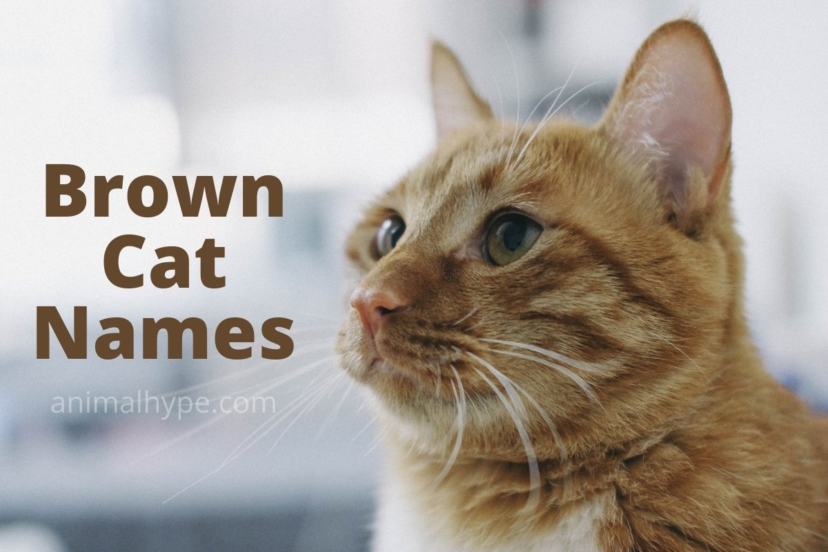 221 Brown Cat Names That You Ll Love Animal Hype