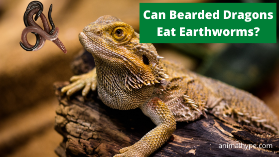 Can Bearded Dragons Eat Earthworms