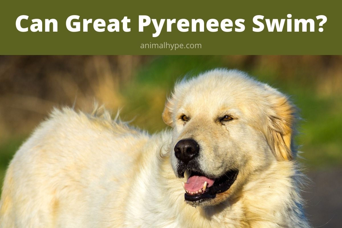 Can Great Pyrenees Swim
