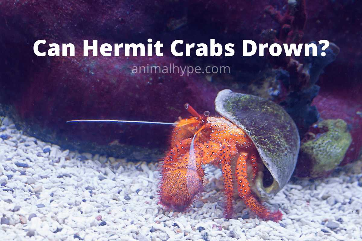 Can Hermit Crabs Drown