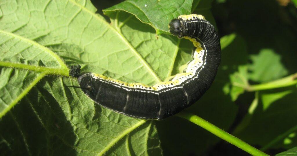 Catalpa Sphinx Moth Caterpillar