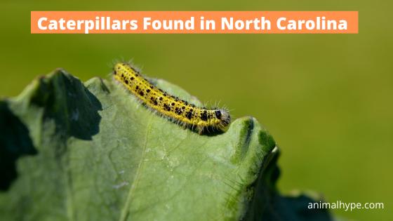 Caterpillars in North Carolina