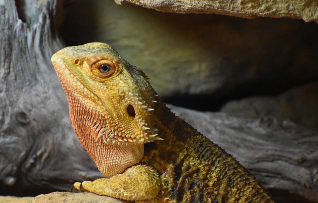 Bearded Dragons be fed earthworms