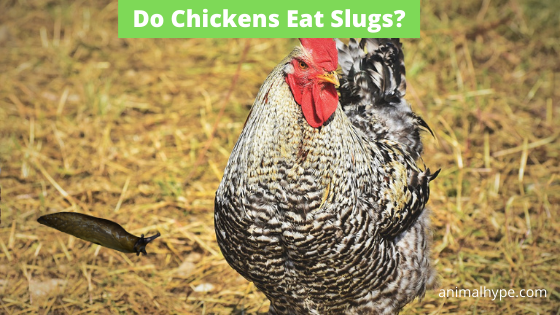 Do Chickens Eat Slugs