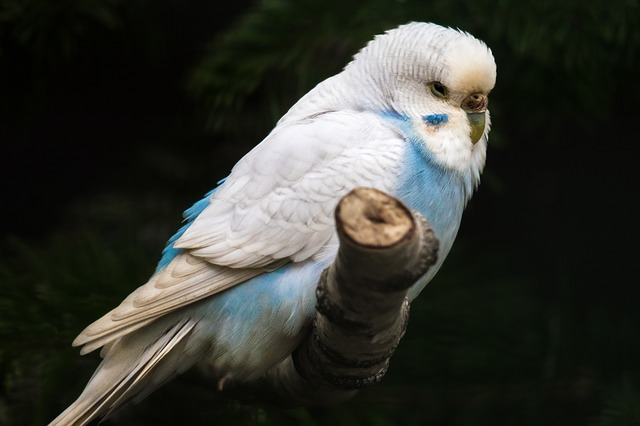 Do Parakeets prefer noise over silence