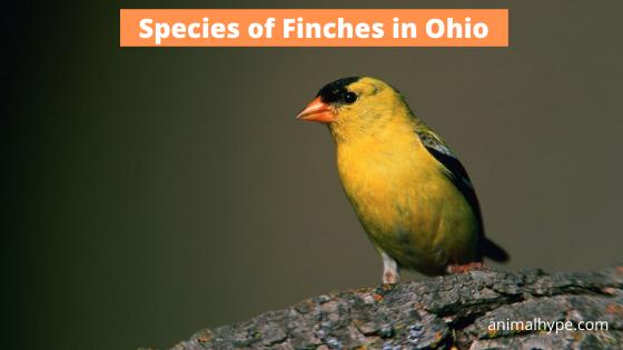 Finches in Ohio