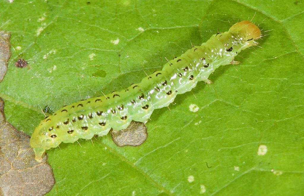 Hahncappsia Moth Caterpillar
