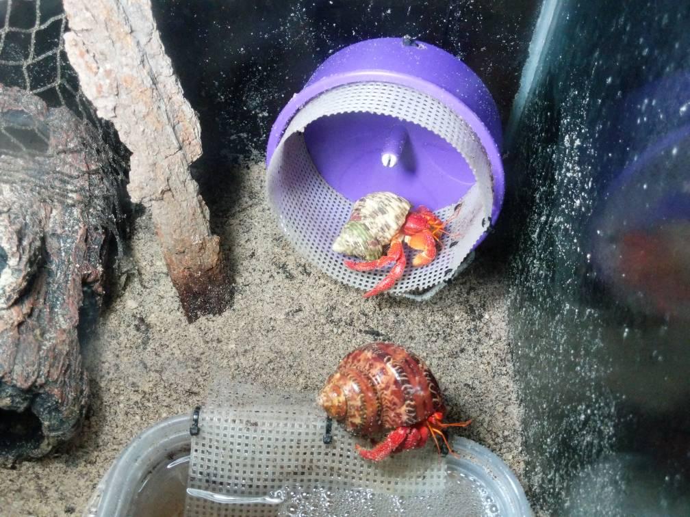 Hamster Wheels for hermit crabs