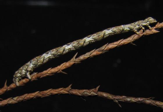 Juniper-twig Geometer Moth Caterpillar