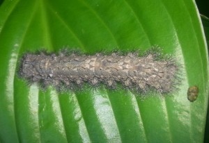 Large Tolype Moth Caterpillar