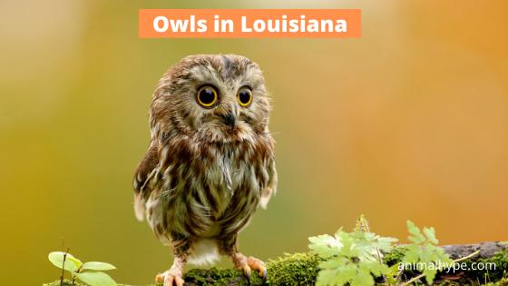 Owls in Louisiana