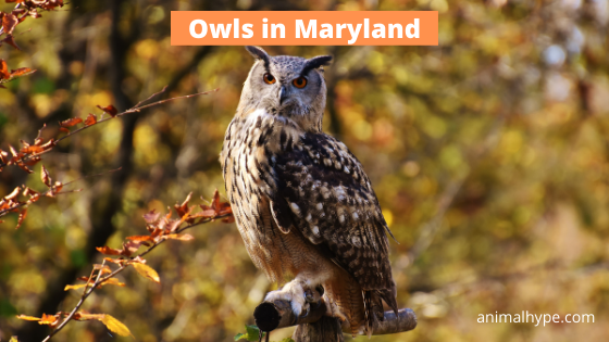 Owls in Maryland