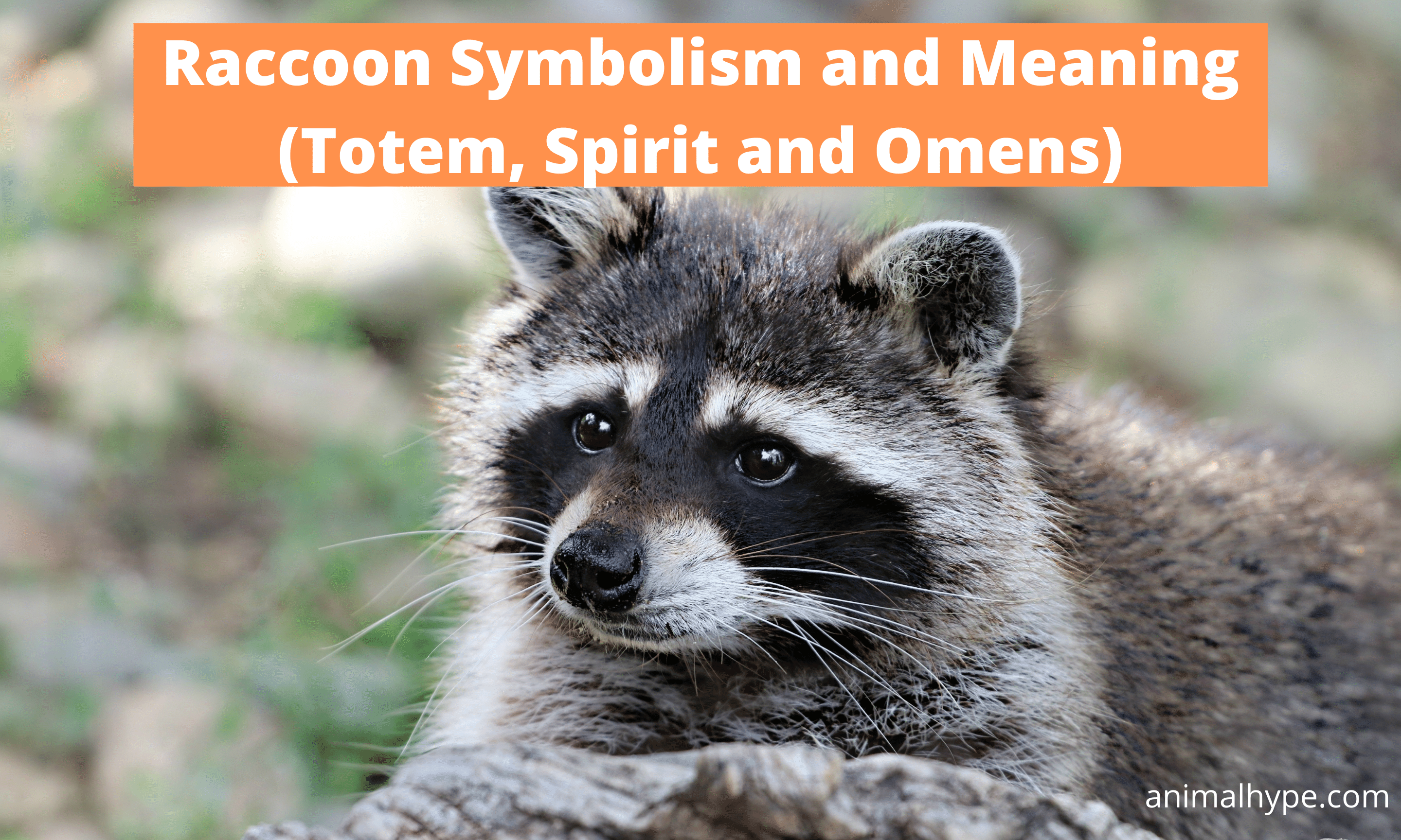 Raccoon Symbolism and Meaning