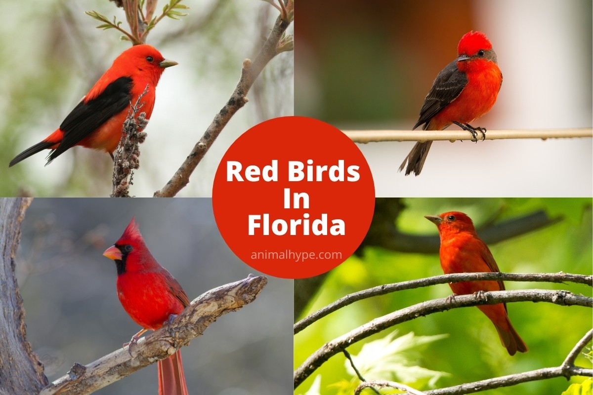 Red Birds in Florida