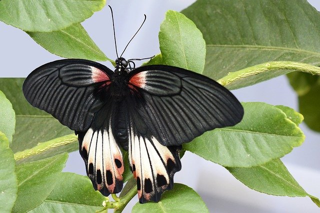 Spiritual meaning of the Black Butterfly