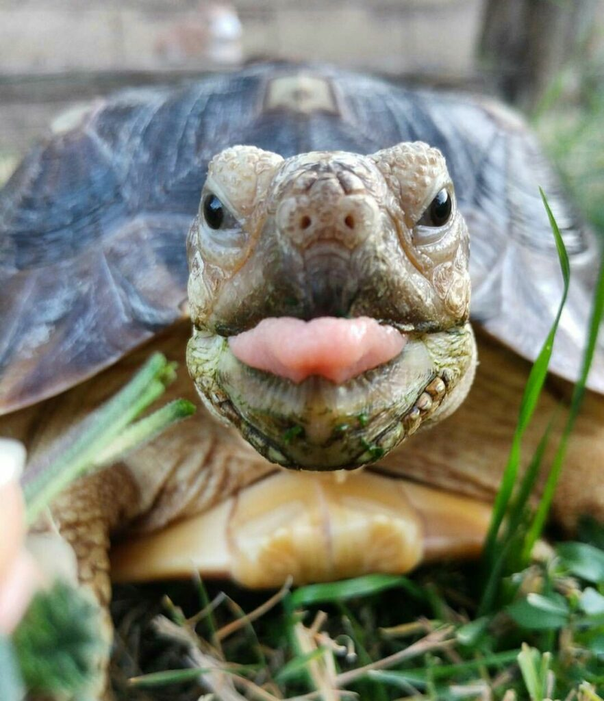 Turtle tongue