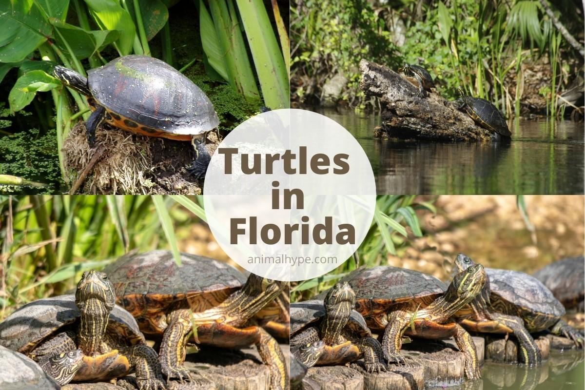 Turtles In Florida