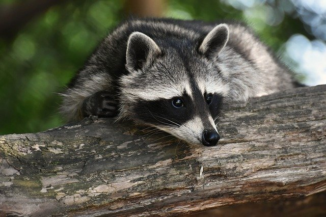 What do Raccoons symbolize