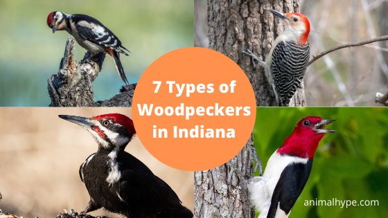 Woodpeckers in Indiana