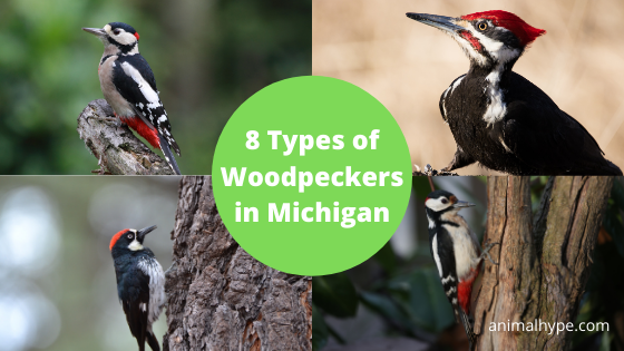 Woodpeckers in Michigan