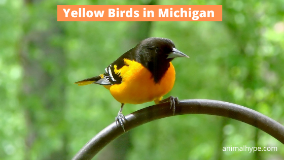Yellow Birds in Michigan