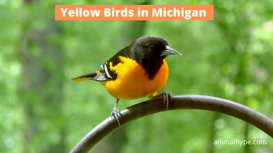 Yellow Birds in Michigan