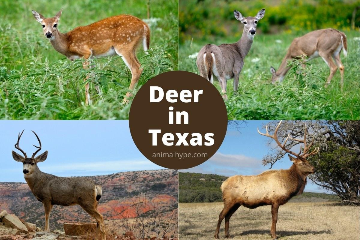 deer in texas