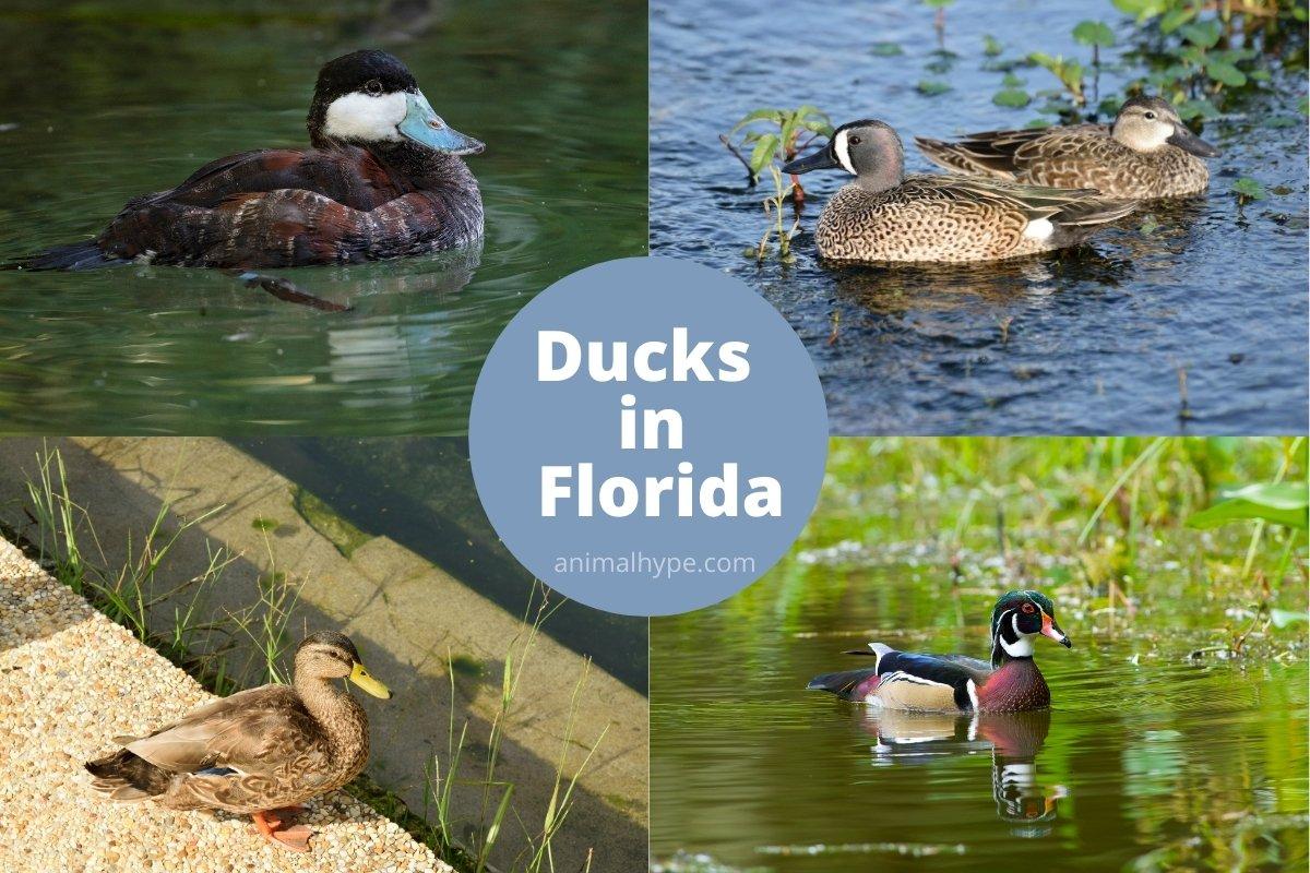 ducks in florida