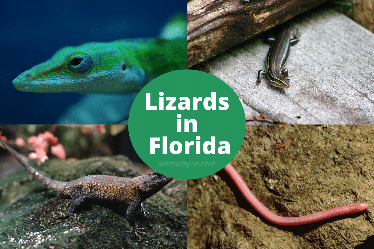 lizards in florida