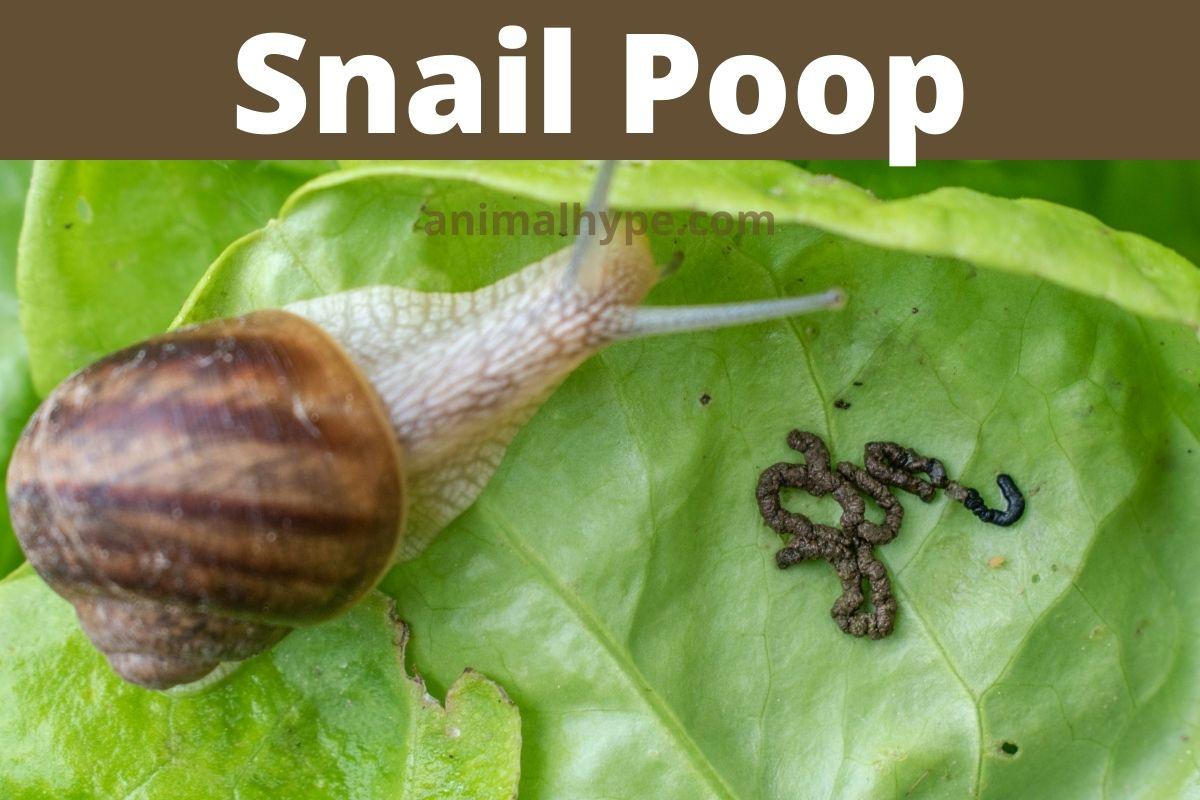 snail poop
