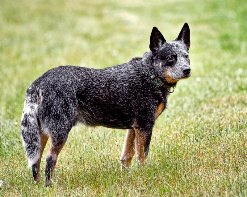 Are Blue Heelers affectionate