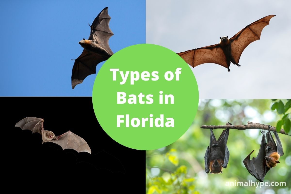 Bats in Florida