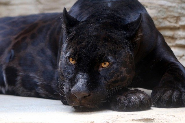What do Black Panthers symbolize