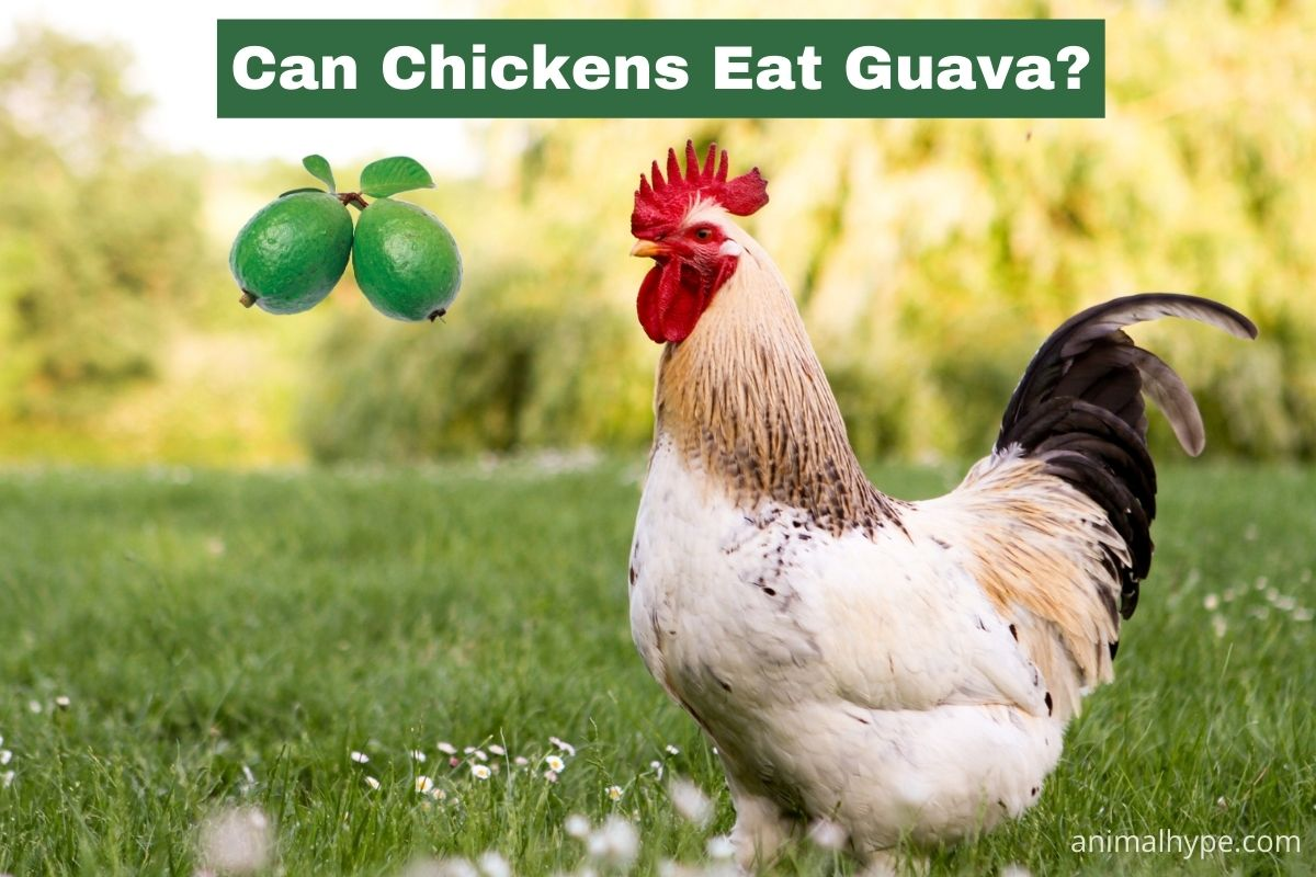 Can Chickens Eat Guava
