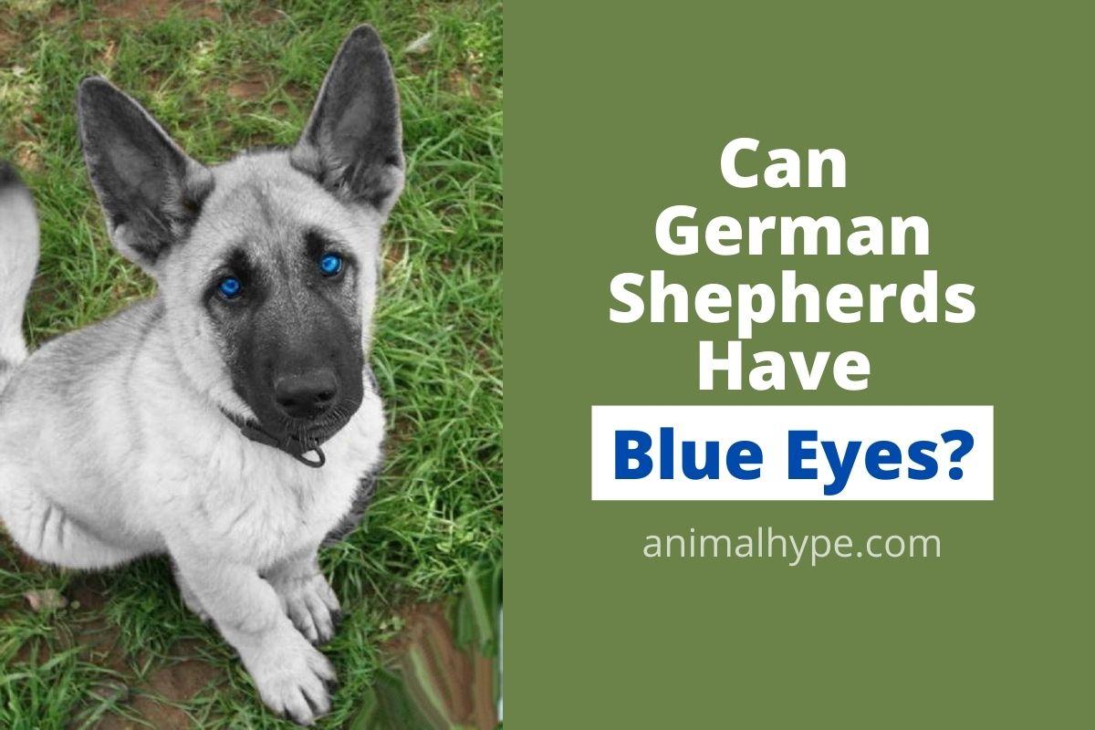 Can German Shepherds Have Blue Eyes