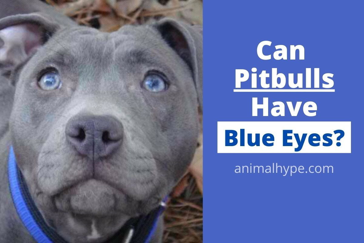 Can Pitbulls Have Blue Eyes