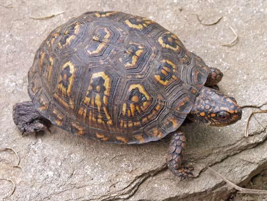 Common Box Turtle (Terrapene Carolina)