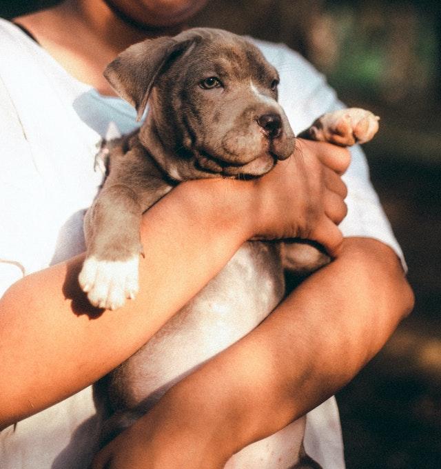 Cuddling practices for pitbulls