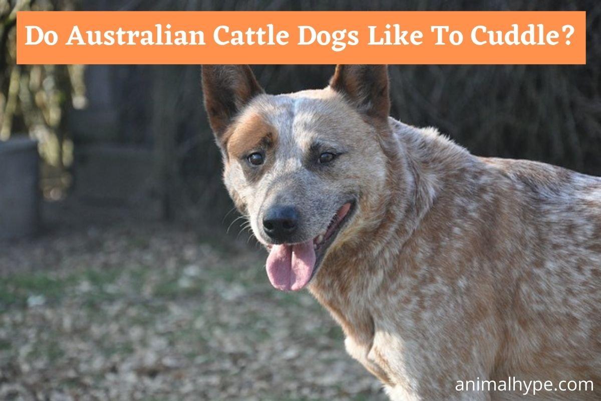 Do Australian Cattle Dogs Like To Cuddle