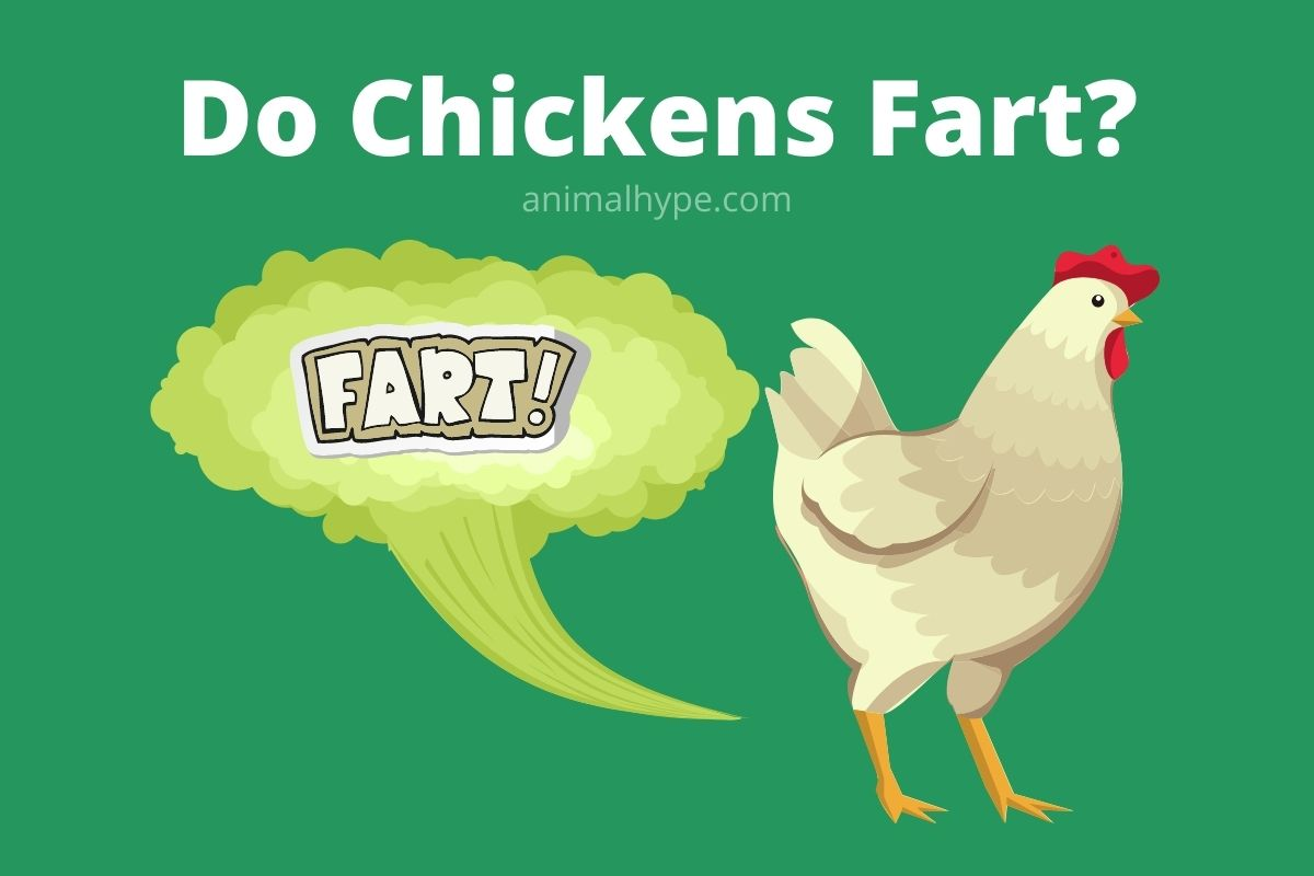 Do Chickens Fart