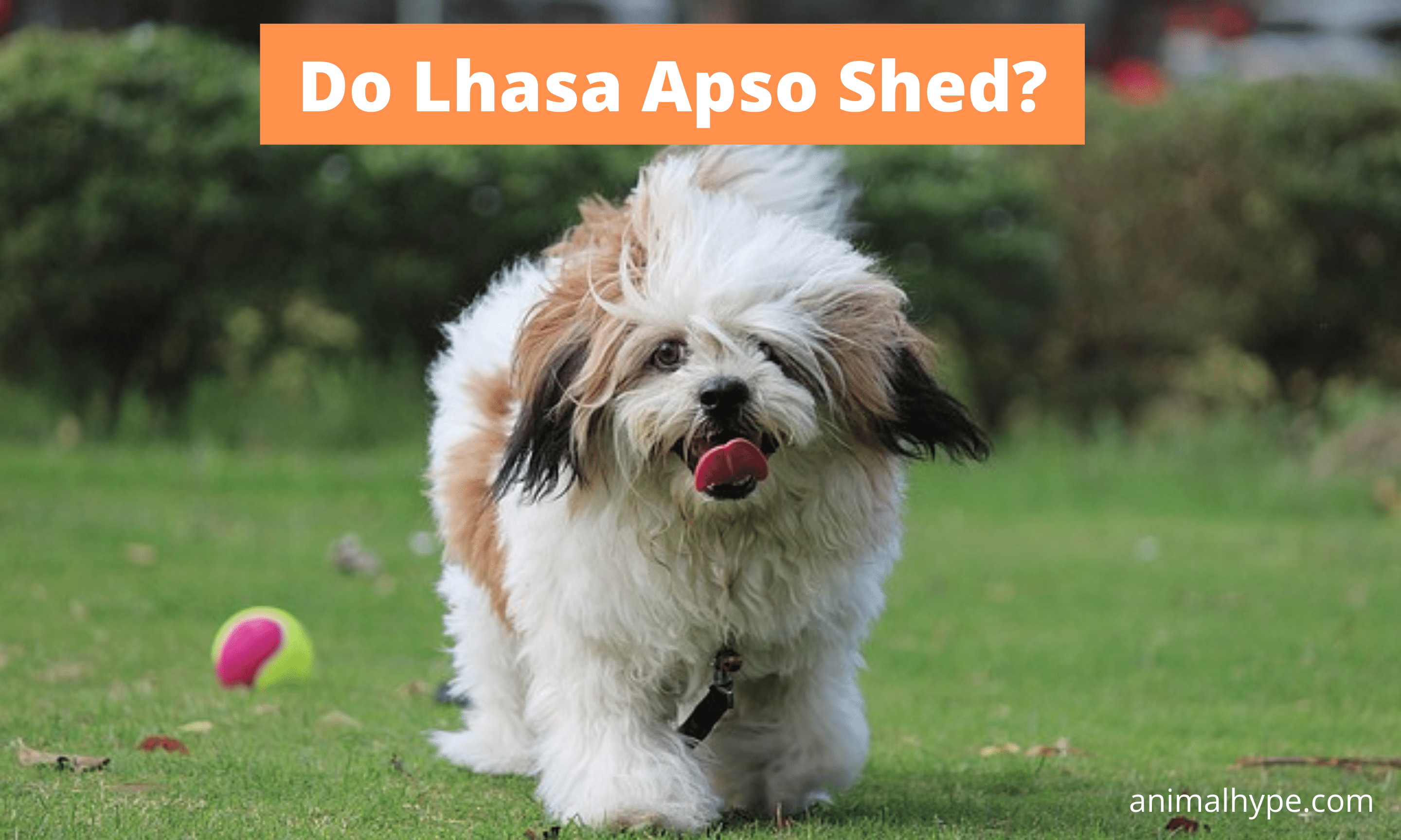 Do Lhasa Apso Shed