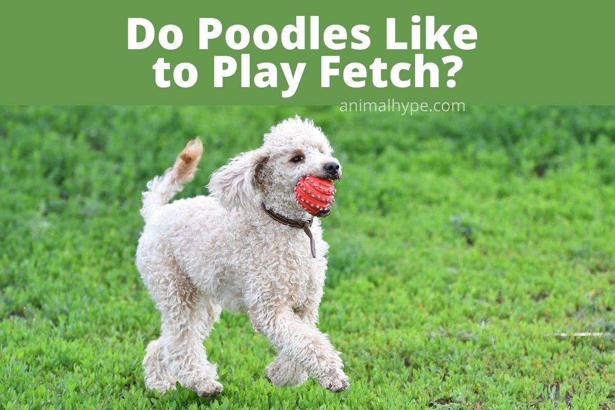 Do Poodles Like to Play Fetch