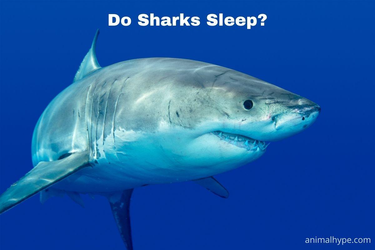 Do Sharks Sleep