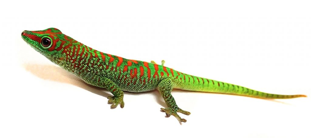 Giant Day Gecko (Phelsuma grandis)