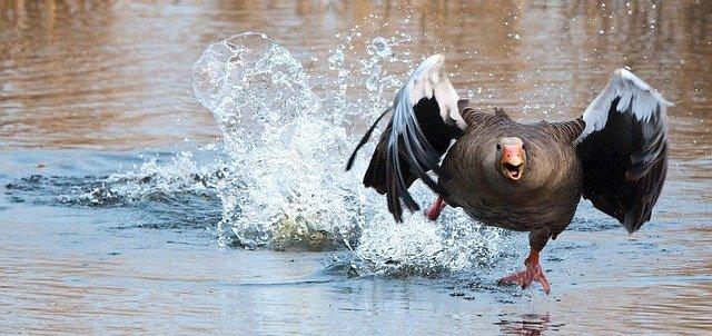 Goose as a spirit animal