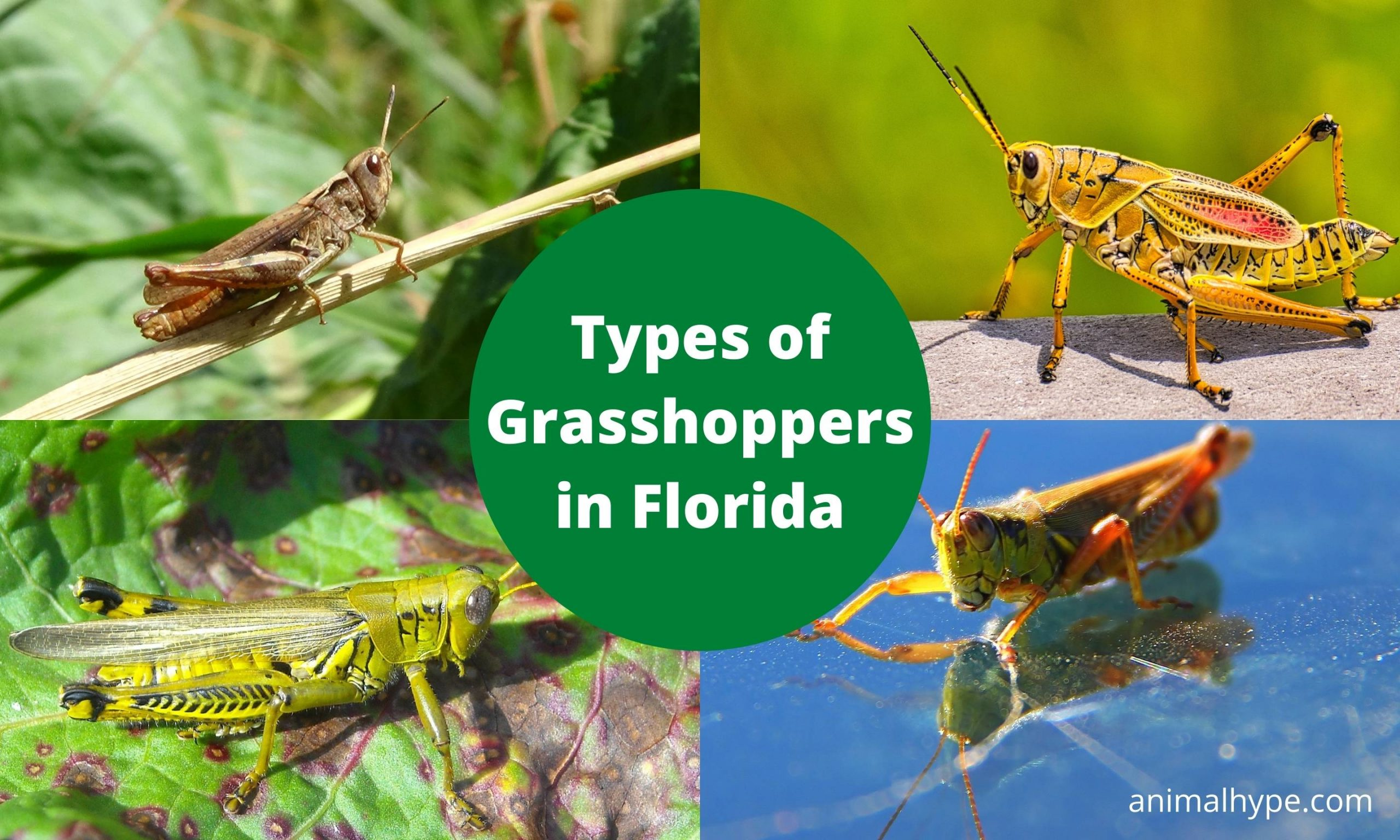 Grasshoppers in Florida