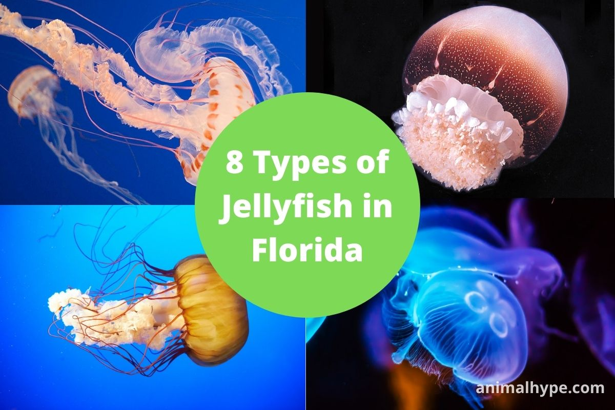 Types of Jellyfish in Florida