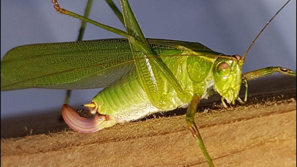 Larger Fork-Tailed Grasshoppper (Melanoplus furcatus)