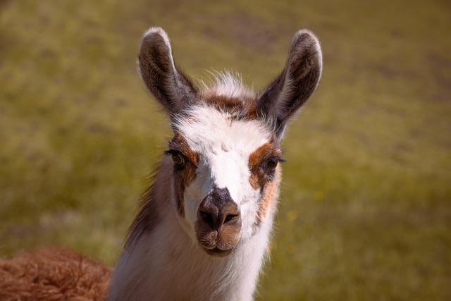 Llama Spirit Animal